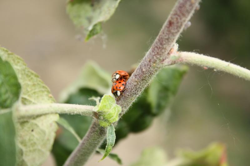Kopulierendes Marienkäferpaar
