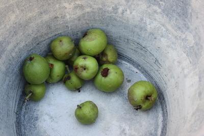 Apfelwickler: Befallene Äpfel