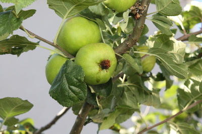 Apfelwickler: Befallener Apfel